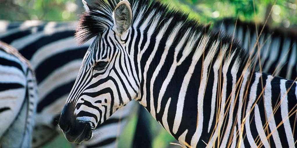 marketing zebras